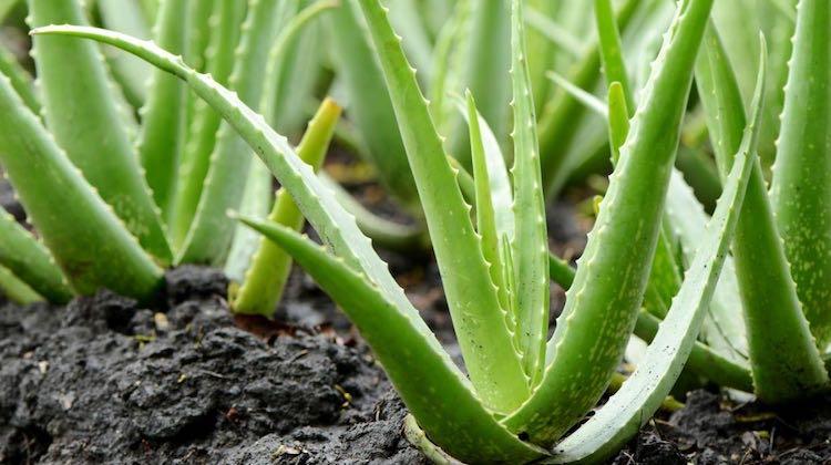 Aloe Vera pianta